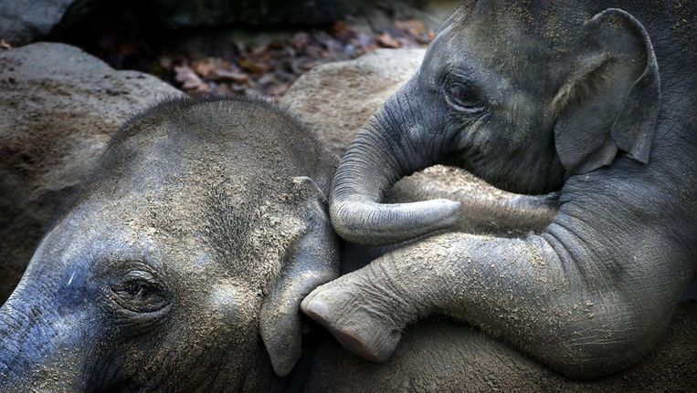 en moederolifant speelt met haar jong in Dierenpark Emmen. De moederolifant, haar twee zonen en dochter moeten weg uit het park omdat zij al maanden overhoop liggen met de rest van de kudde vanwege een machtsstrijd. Beeld anp