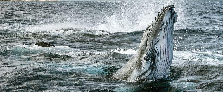 Uit 'Secret of Whales'. Beeld rv