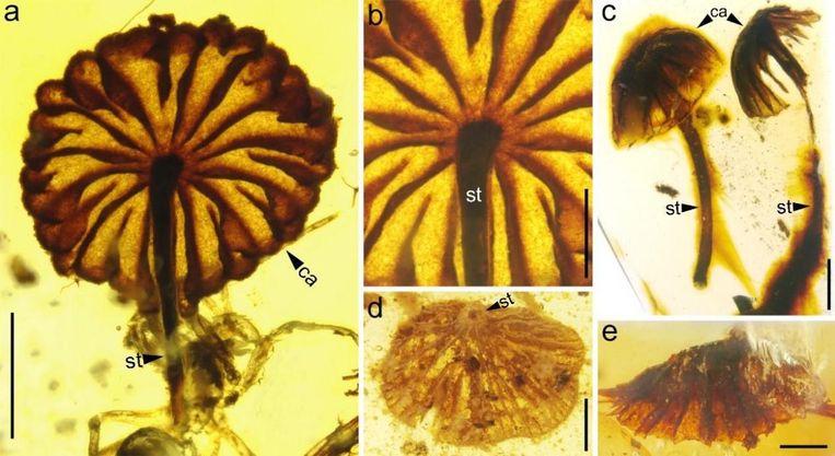 Het verbaast onderzoekers hoe goed de prehistorische paddenstoelen op moderne exemplaren lijken. Beeld cai et al