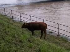 Une vache emportée par les flots se retrouve dans le centre de Liège