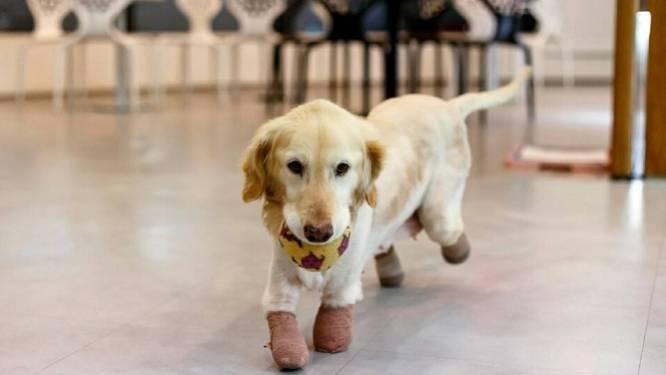 Ze werd gefokt om op te eten, verloor al haar pootjes, maar is nog steeds vrolijkste pup