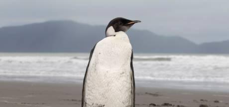 'Keizerspinguïn over tachtig jaar uitgestorven'