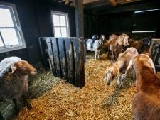 Koe, pony's, ezels en schapen 'duiken onder' voor verbouwing