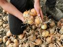 Plantuien mogen weg voor 25 cent per kilo. Veel goedkoper dan in de supermarkt, maar meer dan teler Marijn Uitdewilligen er voor vangt op de uienmarkt.