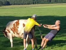 Noaberplicht: fietsende dierenarts helpt boer met bevallende koe