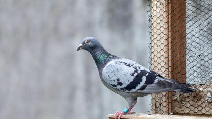Amerikaanse duivenliefhebber met 1,4 miljard euro zoekt huis met duiventil in Vlaanderen