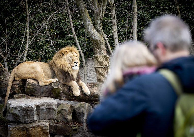 Een van de leeuwen van Artis in het huidige verblijf. Nu er een nieuw verblijf komt, hoeven de dieren niet weg. Beeld ANP