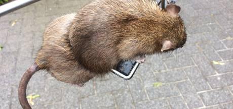 Ook in Uden en Bernheze steeds meer overlast van ratten; bewoners doden er 22 in één straat