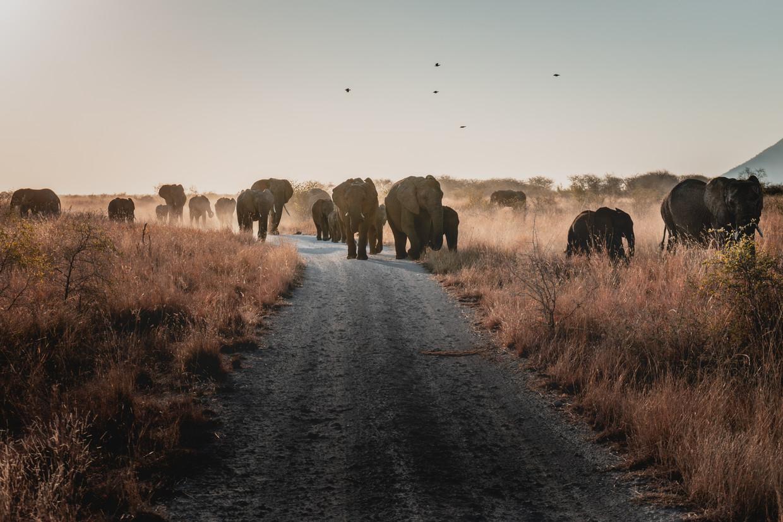 Olifanten in de wildernis van Zuid-Afrika. Het contact met de natuur en het op jezelf teruggeworpen zijn tijdens een 'trail' blijken leiderschapscapaciteiten van de deelnemers gunstig te beïnvloeden. Beeld Getty Images