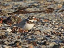 Geen nieuw nest van bontbekplevier bij Kattendijke, gemeente kan weer zeewier opruimen