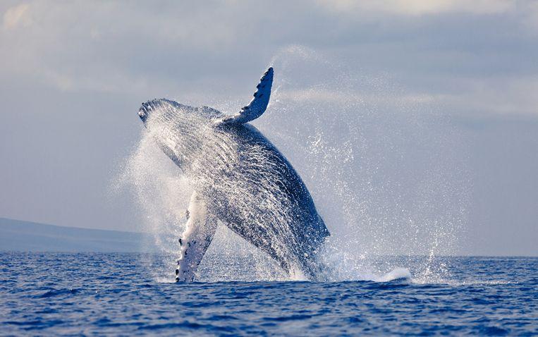 Ter illustratie: Een walvis die uit het water springt Beeld thinkstock