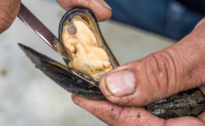 Lancement de la saison des moules de Zélande.
