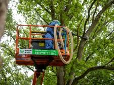 Xentari helpt Oldebroek aan jeukrupsloze eikenbomen, maar eventuele schade is nog niet te meten