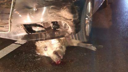 Bestuurder rijdt in één klap 19 everzwijnen dood in Heusden-Zolder