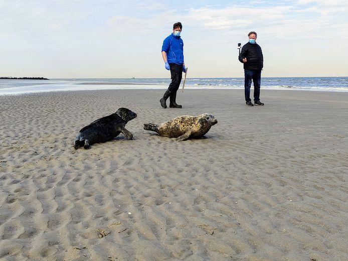 Le Sea Life a relâché trois phoques en mer mercredi.
