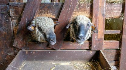 Alweer vijf schapen gestolen op kinderboerderij