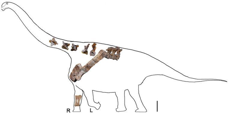 Paleontologen maakten aan de hand van de fossielen deze tekening van de Yongjinglong datangi. Beeld University of Pennsylvania