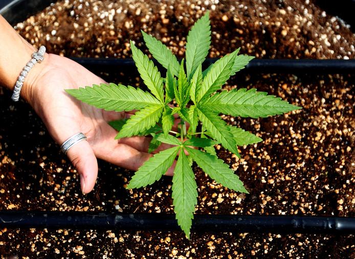 Een cannabis-plant.