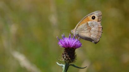 Natuurpunt houdt vlinderwandeling in De Reukens