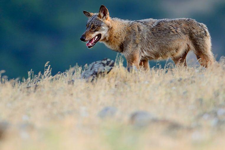De wolf, hier gefotografeerd in Bulgarije, is in Europa een beschermde diersoort. Een meerderheid van de Nederlanders zou graag een wolf in het wild willen zien. Beeld AFP