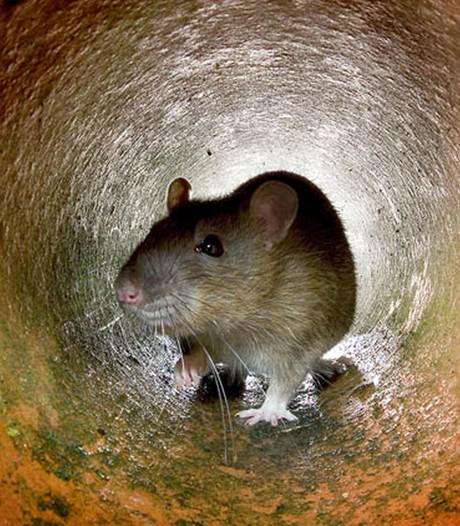Ratten, motten en zwarte schimmel: hygiëne in Gelderse winkels niet op orde