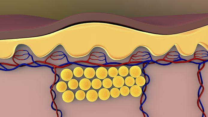 Adipocyten bevinden zich in de onderhuid.