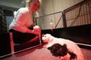 De hond van mevrouw Urlings uit Gennep voedt niet alleen haar eigen (witte) dwergschnauzerjong maar ook negen kostgangers uit Neerkant.