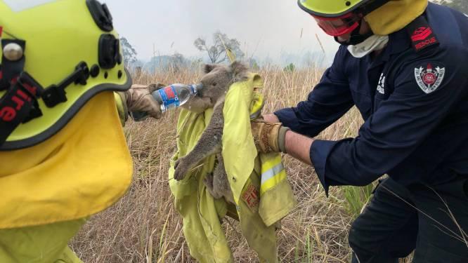 """Is het einde nabij voor de koala's? Expert meent dat dieren """"functioneel zijn uitgestorven"""" na bosbranden"""