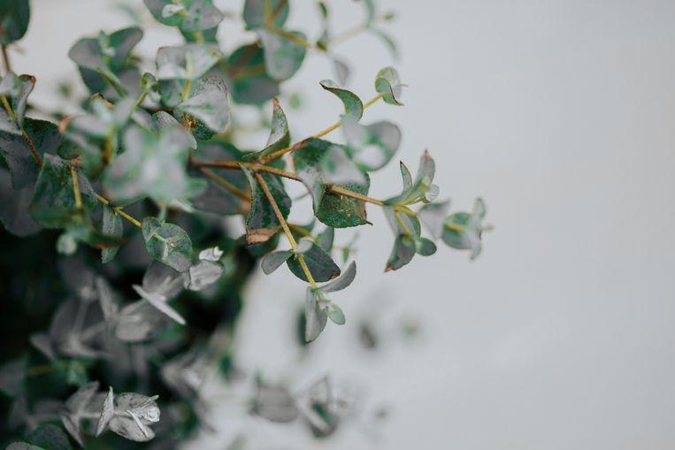 Eucalyptus Beeld Getty Images