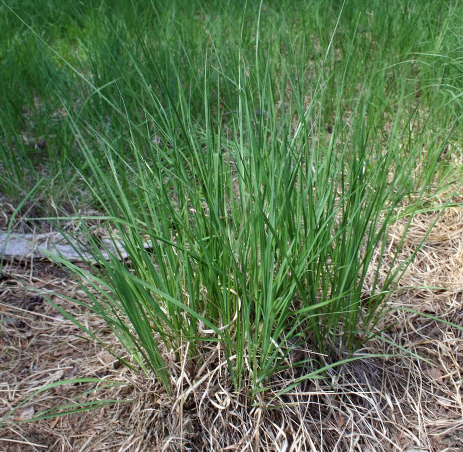 Door de neerslag van stikstof veranderde de heide in een grazige vlakte, overwoekerd door het pijpenstrootje.