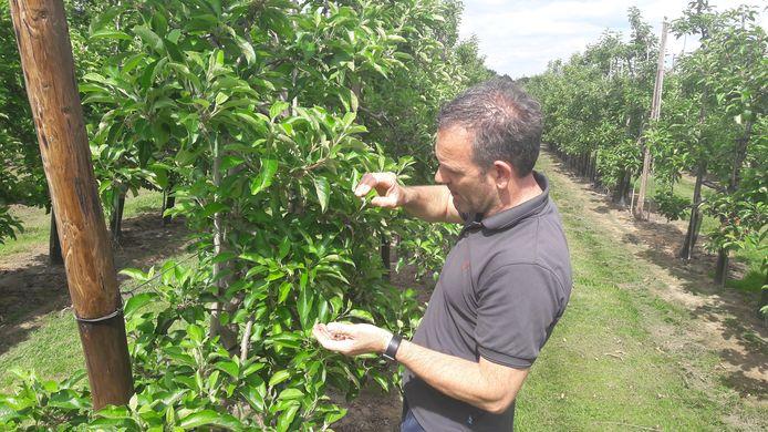 Carlos Faes plukt dit jaar helaas alleen verdorde bloesem van zijn appelbomen.