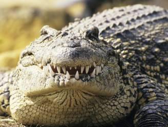 Krokodil bijt kakkende man in billen