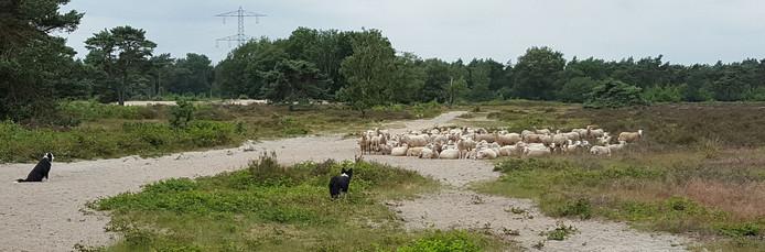 De schapenkudde compleet met twee collies, zondag in de Maashorst.