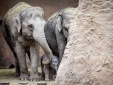 Én we noemen 'm Radjik: olifantje Blijdorp heeft naam