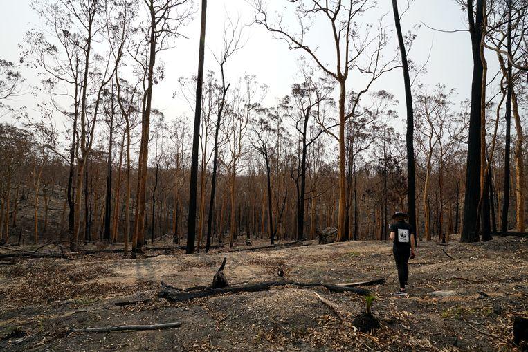 Verkoolde bomen na de branden op Kangaroo Island, Australië.  Beeld WWF Australia