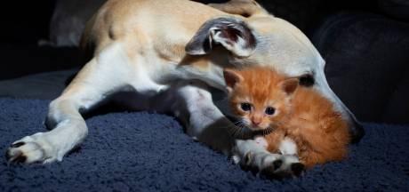 Zo gaat het nu met kitten Arie met kikkerpoten die gered werd van straat
