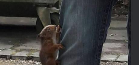Let op: jonge eekhoorn die tegen je broekspijp opklimt, wil niet spelen maar heeft hulp nodig