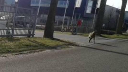 De wolf in Hoogezand