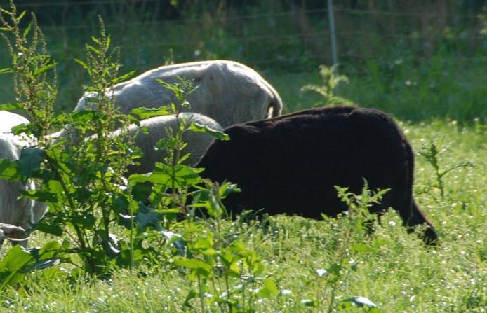 Een zwart schaap is afgelopen week door een hond doodgebeten in de wei bij de Kinderboerderij Hellendoorn tussen Hulsen en Marle.