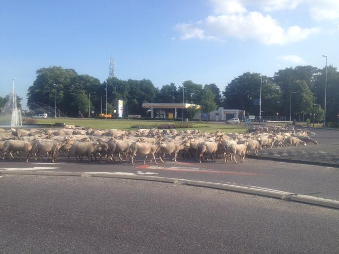 Schapen steken Floraplein over