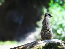 Ouwehands en Burgers' Zoo blij met overheidssteun: 'De dieren verzorgen is onze prioriteit'