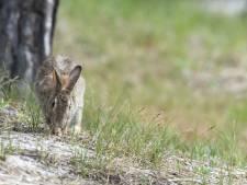 Dierenarts uit Eindhoven voorziet slachting helft van wilde konijnen door virus