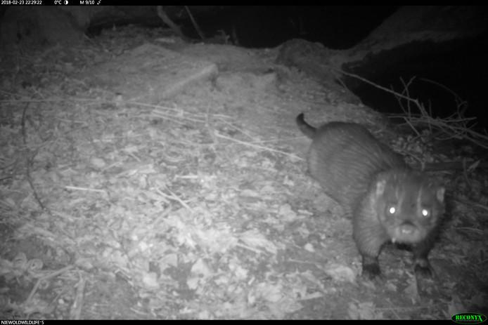 De bij Doesburg met een nachtcamera gefotografeerde otter.