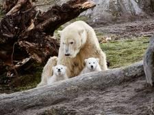 Nieuwe klap dreigt voor Blijdorp: kan de dierentuin wel dóór met ijsberen?