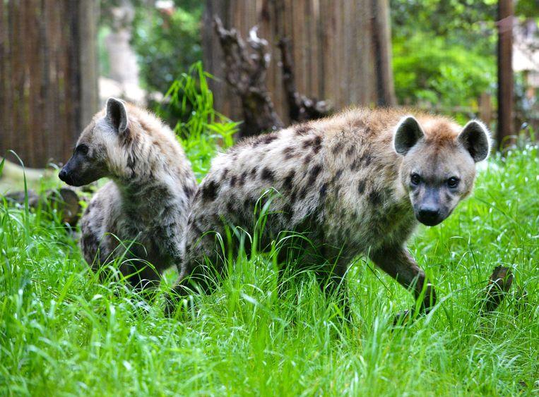 Een mannetjes- en een vrouwtjeshyena maken kennis in dierenpark Amersfoort. Beeld ANP