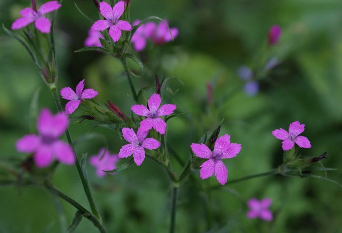 Ruige anjer: roze sterren met kartelrand