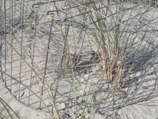 Geen jonge bontbekplevier uitgevlogen vanaf het strand bij Oranjezon