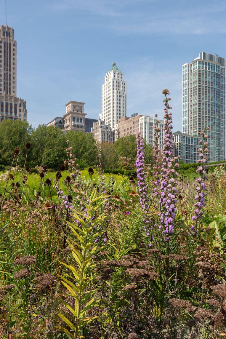 De aanleg van Lurie Garden (2003) in het Millennium Park van Chicago, betekende de internationale doorbraak van Piet Oudolf.  Beeld Alamy Stock Photo