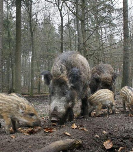 Wilde zwijnen ploegen stuk grasland van boerderij Grutje om: 'Dit heb je natuurlijk liever niet'
