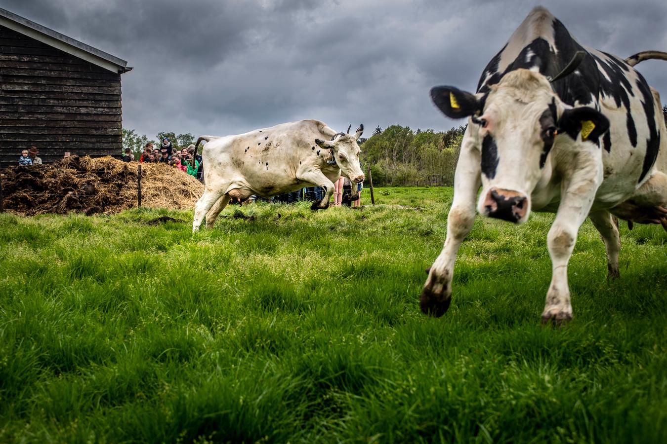 Koeien van kaasboerderij De Zuidgeest bij Bergen op Zoom.
